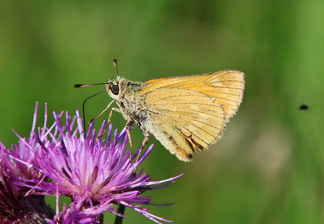 Butterfly - Thymelicus acteon