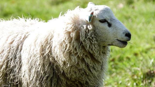 9700 - Lamb