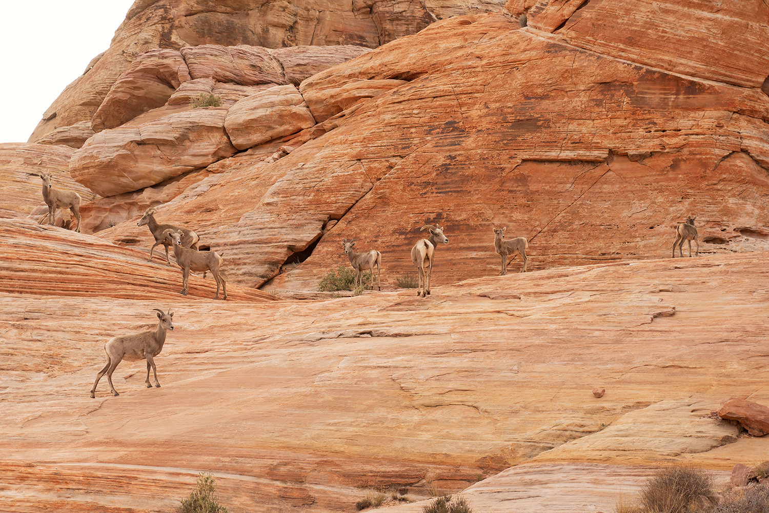 15valleyoffire-vegas-nevada-bighornsheep-wildanimal-travel-photography