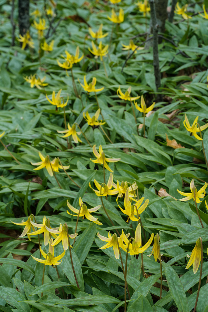 Mountain Dimpled Trout Lily