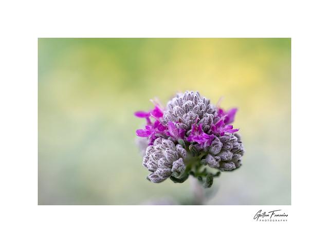 Colors of Spring (Teucrium capitatum)