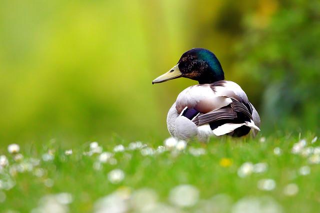 Mallard at Stubbington Pond, Hampshire