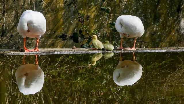 Yellow goslings reflection