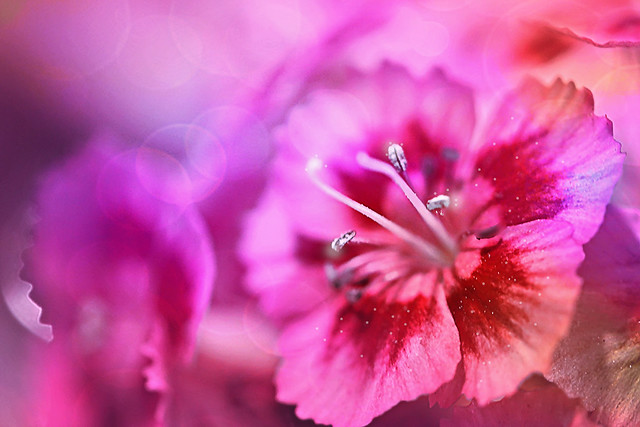 bokeh with Dianthus
