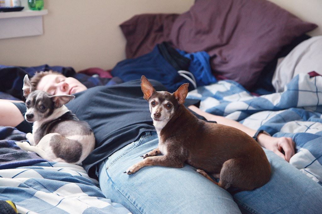 Person On Bed With Two Small Dogs