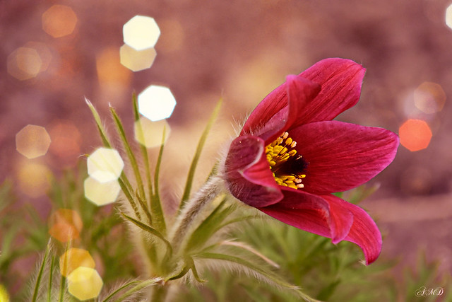 A Red Pasque-Flower