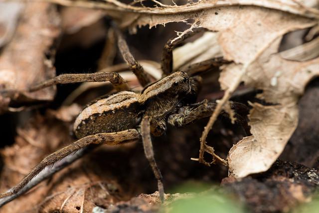 Bilberry Wolf Spider - _TNY_0355