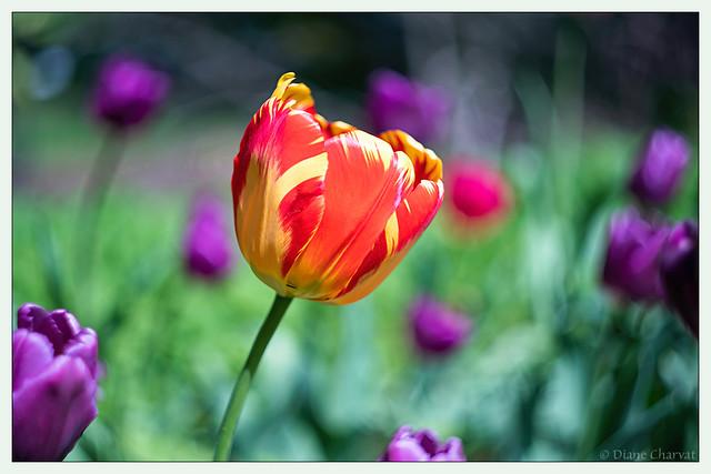 Windblown Tulip