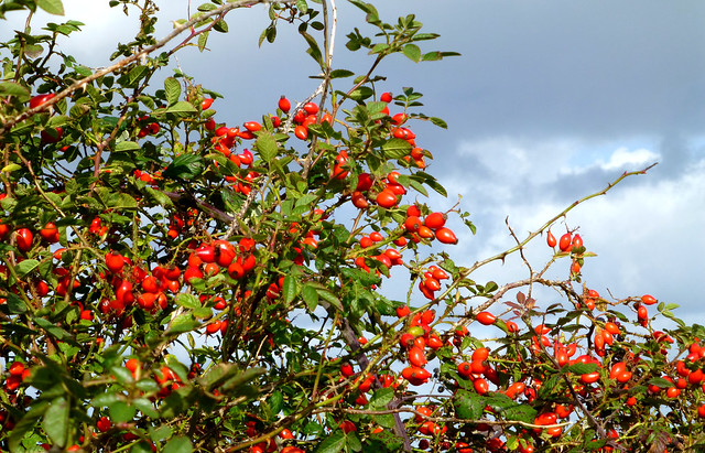 Rose Hips, New Forest NP, UK