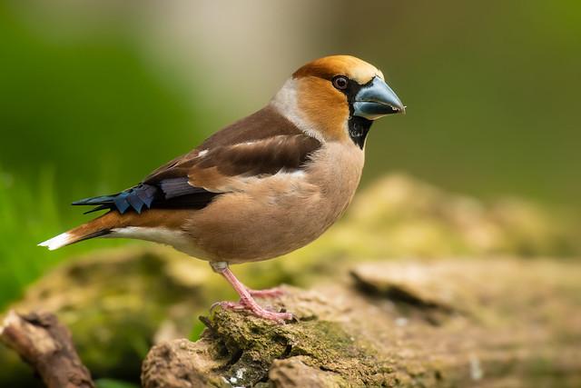 Hawfinch (m)