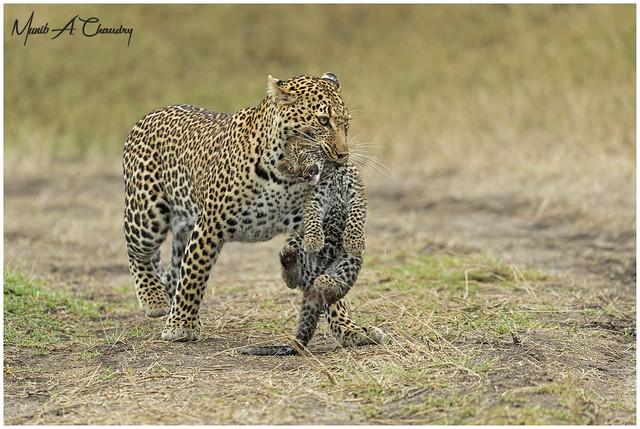 International Leopard Day 2021!