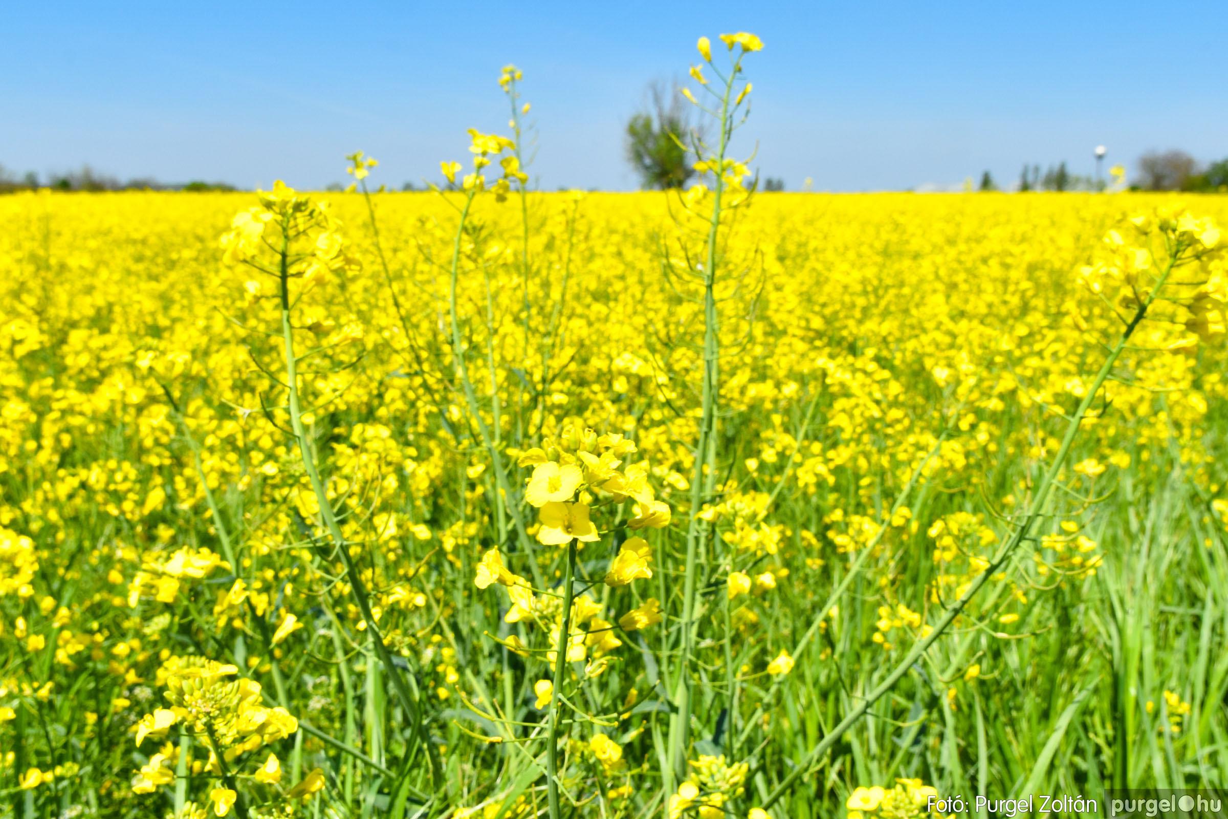 2021.05.04. 005 Virágzó repcemező Szentes határában - Fotó:PURGEL ZOLTÁN© DSC_4350q.jpg