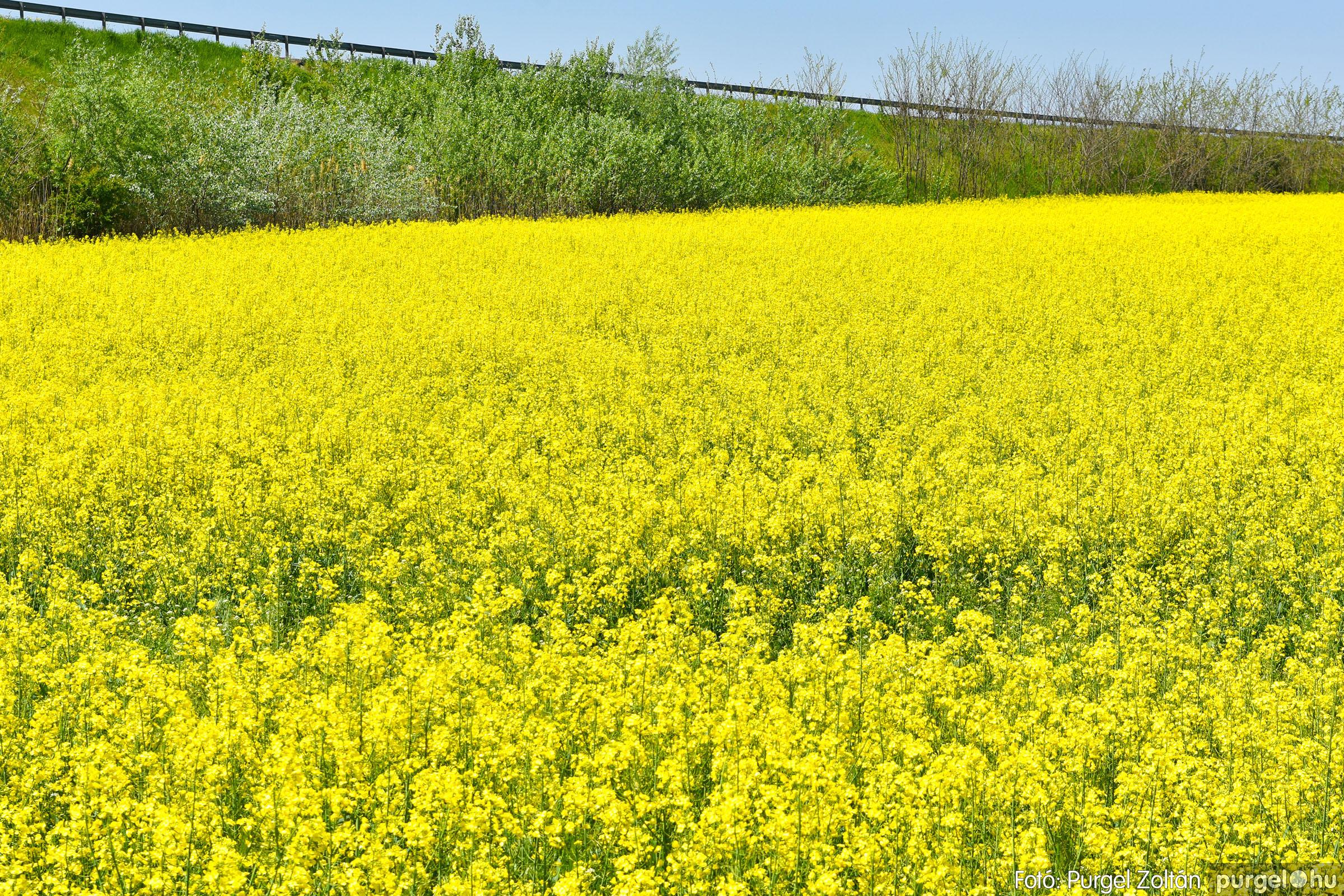 2021.05.04. 003 Virágzó repcemező Szentes határában - Fotó:PURGEL ZOLTÁN© DSC_4348q.jpg