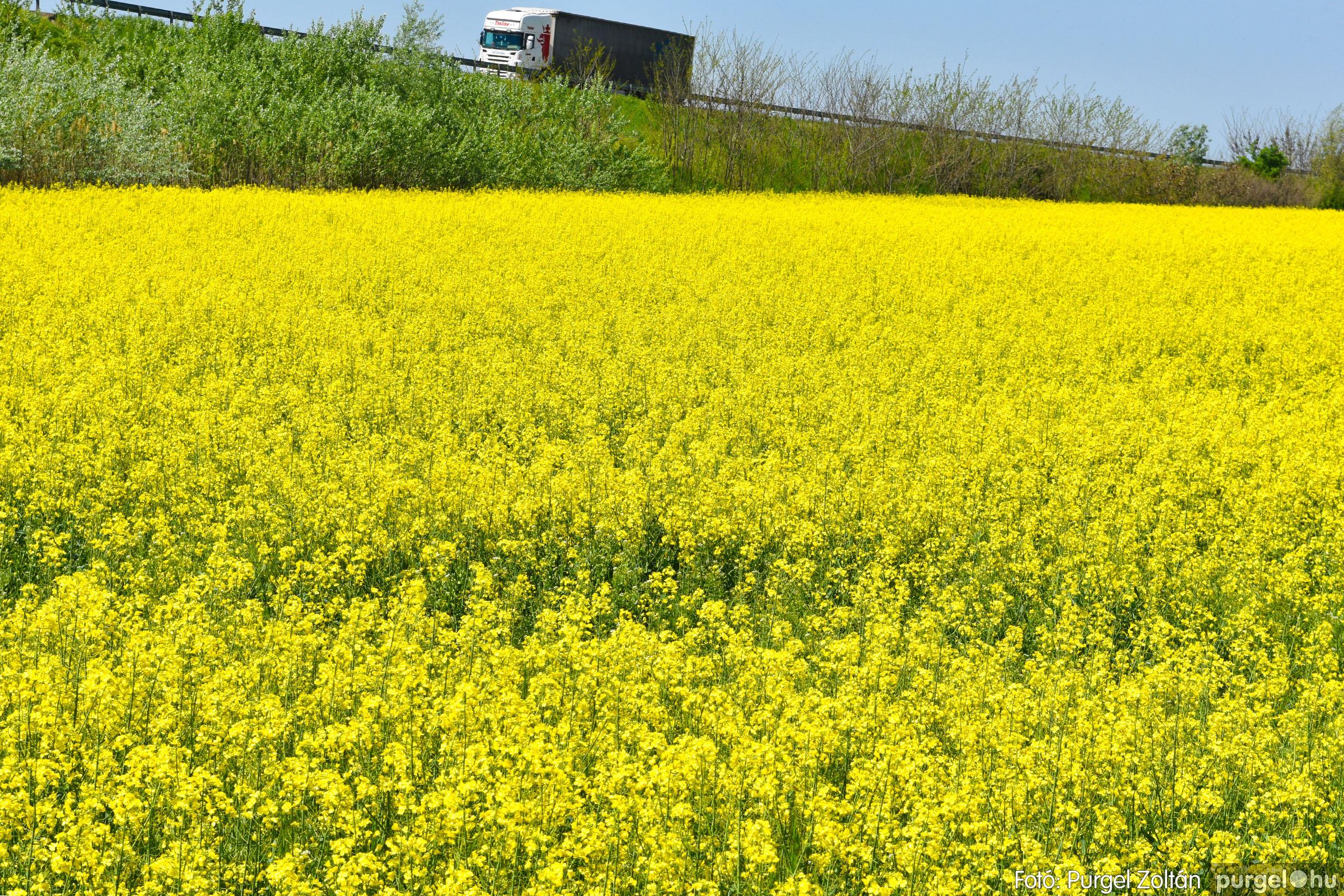 2021.05.04. 002 Virágzó repcemező Szentes határában - Fotó:PURGEL ZOLTÁN© DSC_4347q.jpg