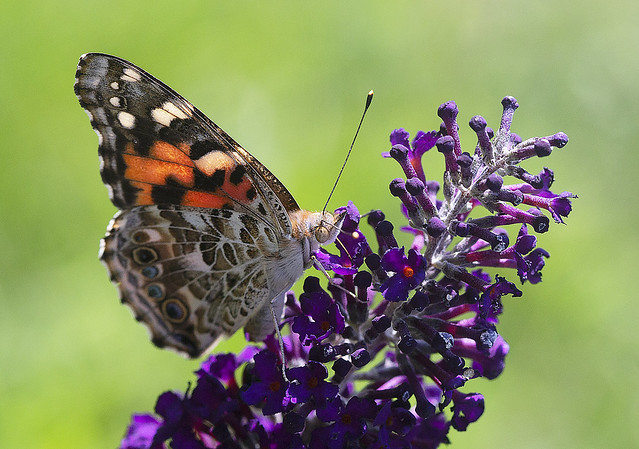 Painted_Lady_Butterfly_GY8A5202