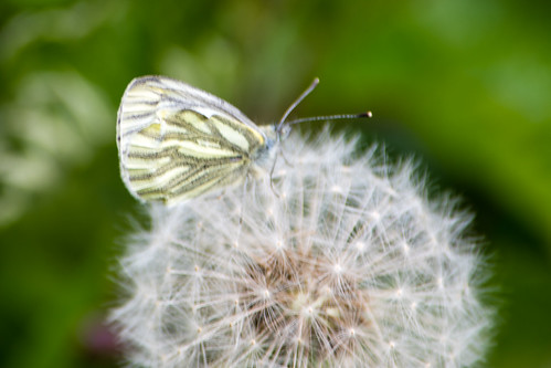 Green veined white on dandelion clock