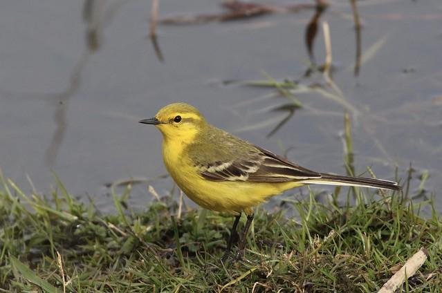 Yellow Wagtail - Motacilla flava flavissima