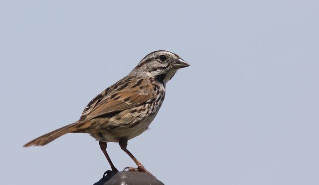5DM41700 View large. Lincoln's Sparrow. Backyard Corona, California