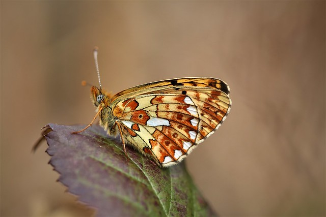Pearl-bordered fritillary - East Sussex.