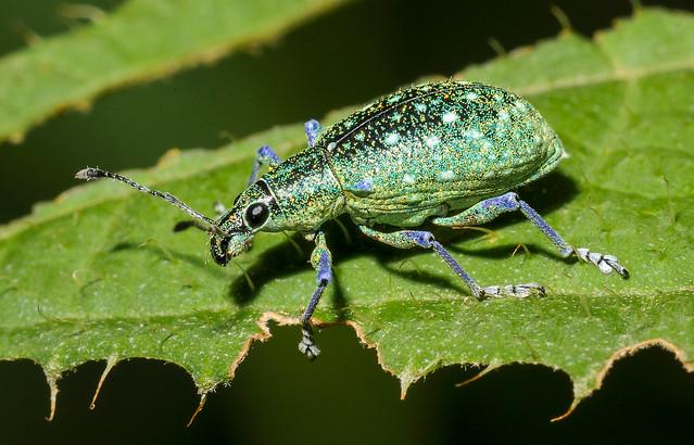 Weevil (Curculionidae) 110p-6207