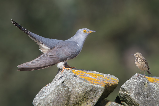 Cuckoo and its host