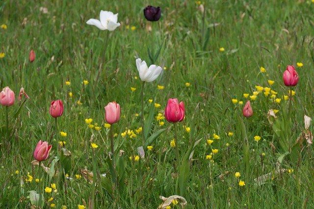 Tulips in the long grass