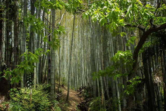 Bamboo Forest In Agano, Japan