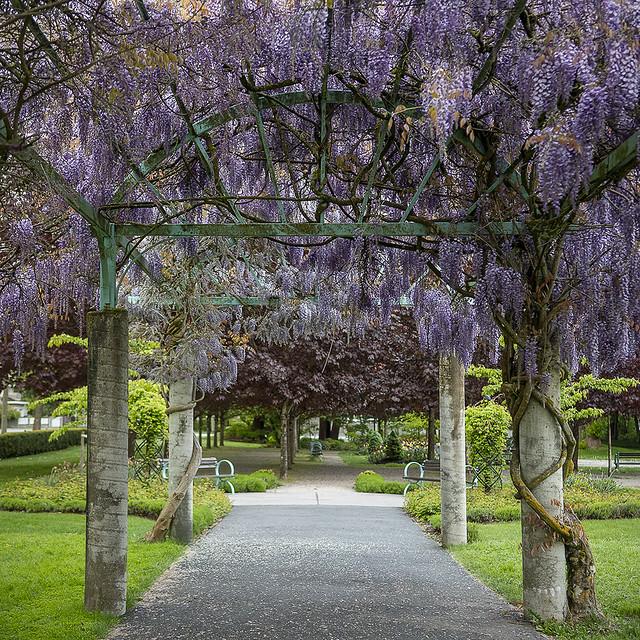 Wisteria Arbor at Fleetwood Garden Park
