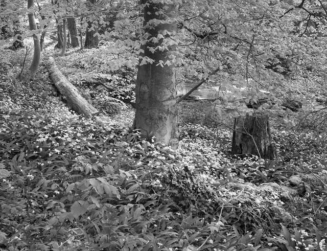 Bärlauchwald / Wild Garlic Woodland