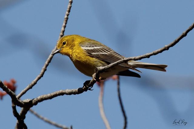 1.27796 Paruline des pins / Setophaga pinus pinus / Pine Warbler