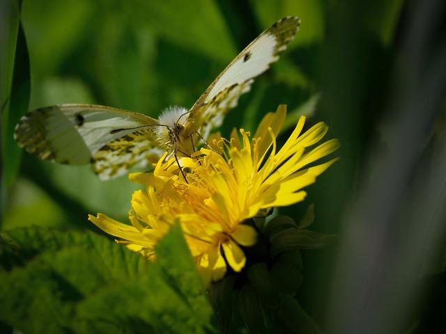 Schmetterling - butterfly - vanesa