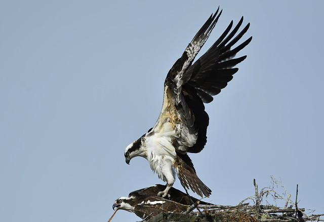 Balbuzards Pêcheurs - Osprey