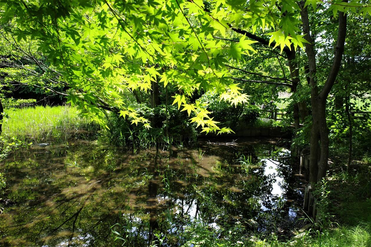石神井公園・新緑