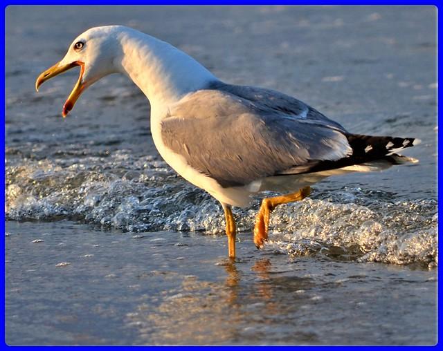 Seagull at Black Sea - Romania