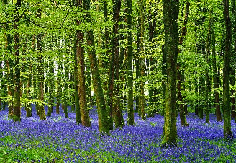 Bluebells - Derreen Wood