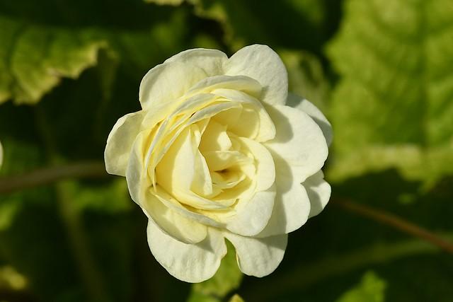Belarina Primrose 'Carmen' (Primula belarina)