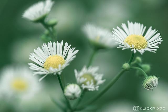fading daisied beauty