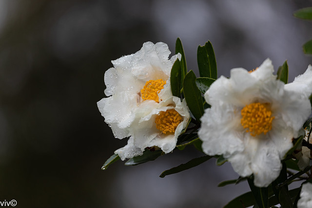 Today's rain drenched Gordonia blooms