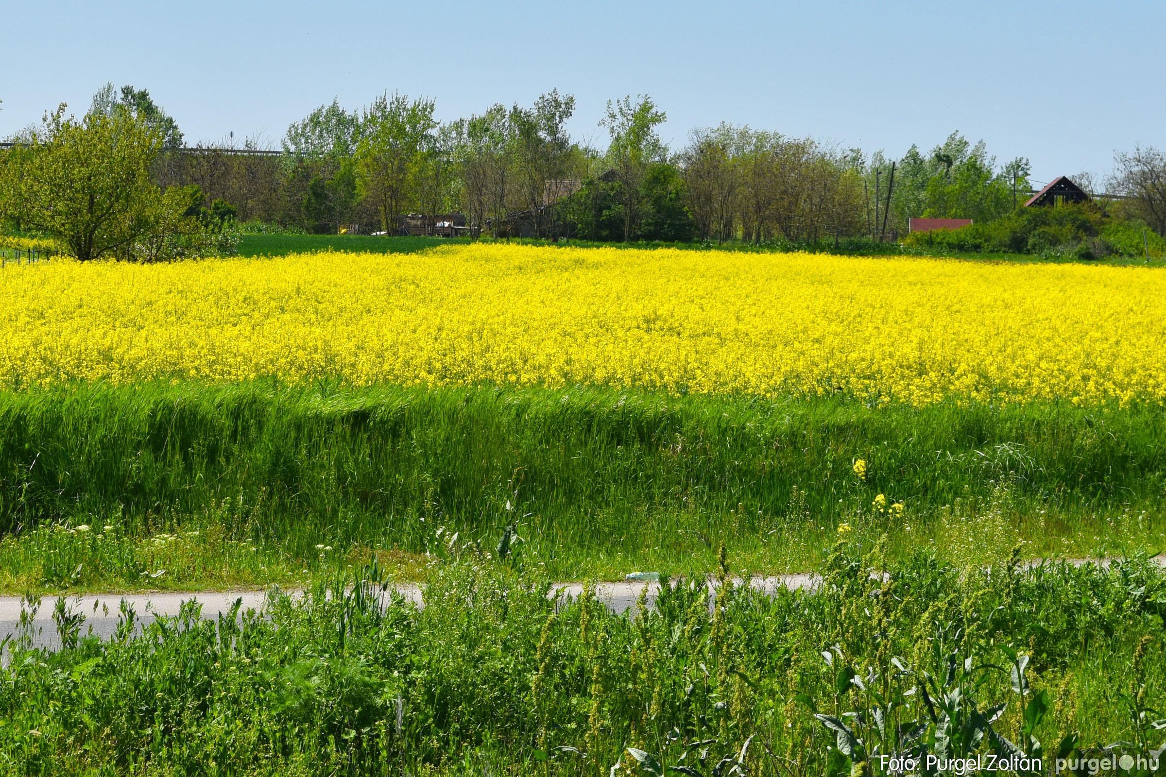 2021.05.04. 007 Virágzó repcemező Szentes határában - Fotó:PURGEL ZOLTÁN© DSC_4352q.jpg