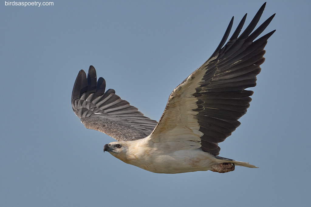 White-bellied Sea-Eagle: Outbound