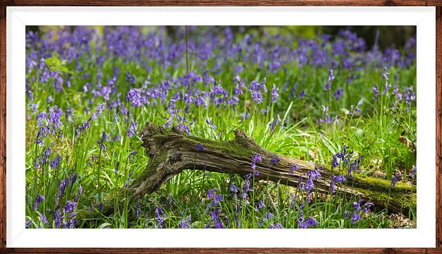 Spring bluebells uk