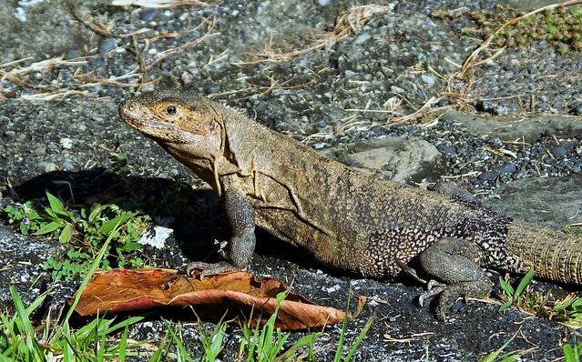 Club-tailed Iguana (Ctenosaura quinquecarinata)