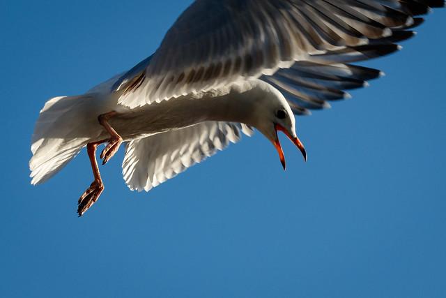 Upset Red-billed Gull (125/365)