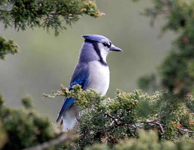 Self Assured Blue Jay