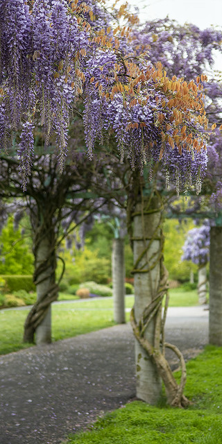 Wisteria with flowers and new folidage,