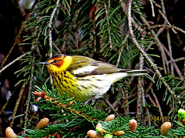 Cape May Warbler, Beltzville State Park, Carbon County, PA, Canon SX50, May 4, 2021