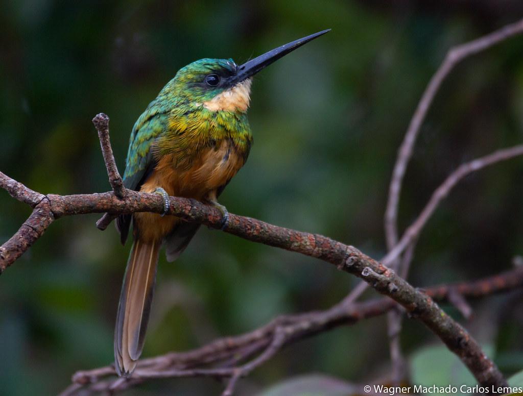 Ariramba de cauda ruiva / Rufous-tailed Jacamar (Galbula ruficauda)