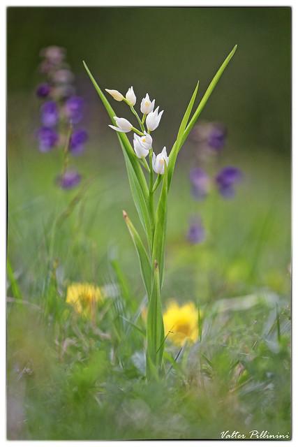 Cephalantera longifolia.