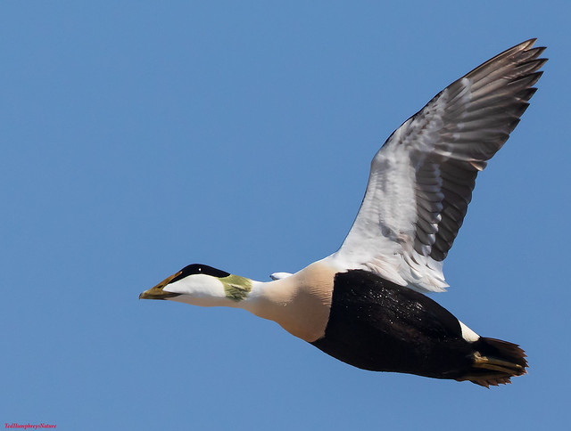 Eider duck flies over Hodbarrow Lagoon RSPB