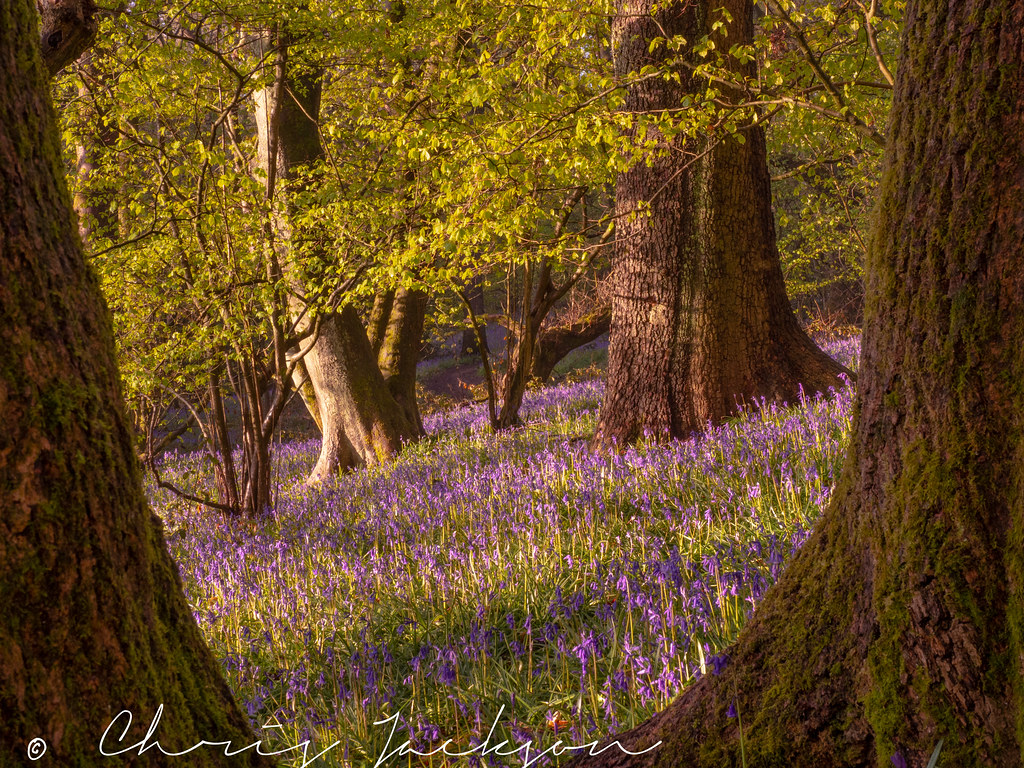 Morning Bluebells
